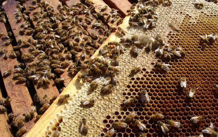 Как пчелы производят мед