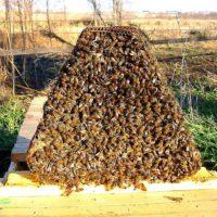 32269 Пчелиные соты: польза и вред