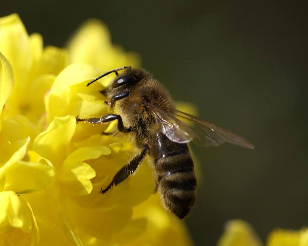 Пчелиные соты: польза и вред