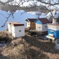 32337 Вывод пчел из зимовки: меры для слабых пчелиных семей