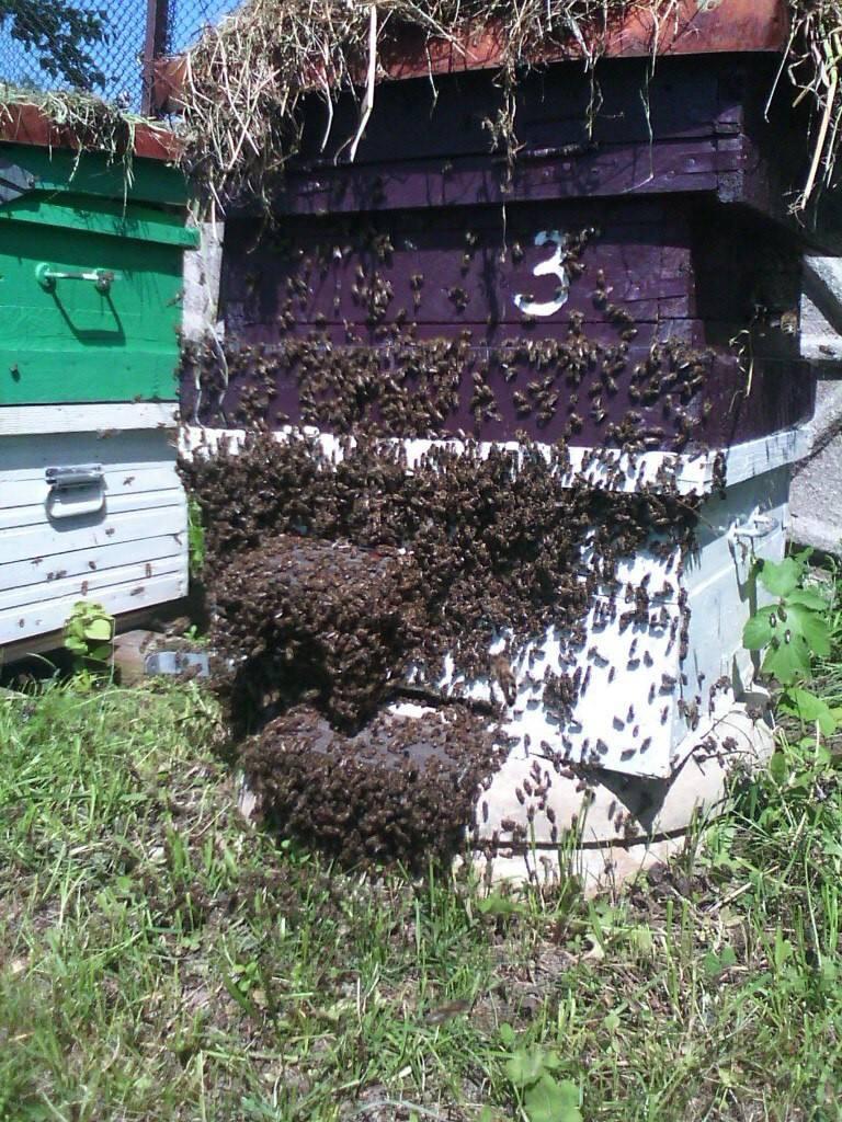 Все о пчелином рое: пчелиный рой и как предотвратить роение пчел