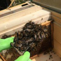 32376 Подкормка пчелопакетов на пластиковых сотах (HSC)