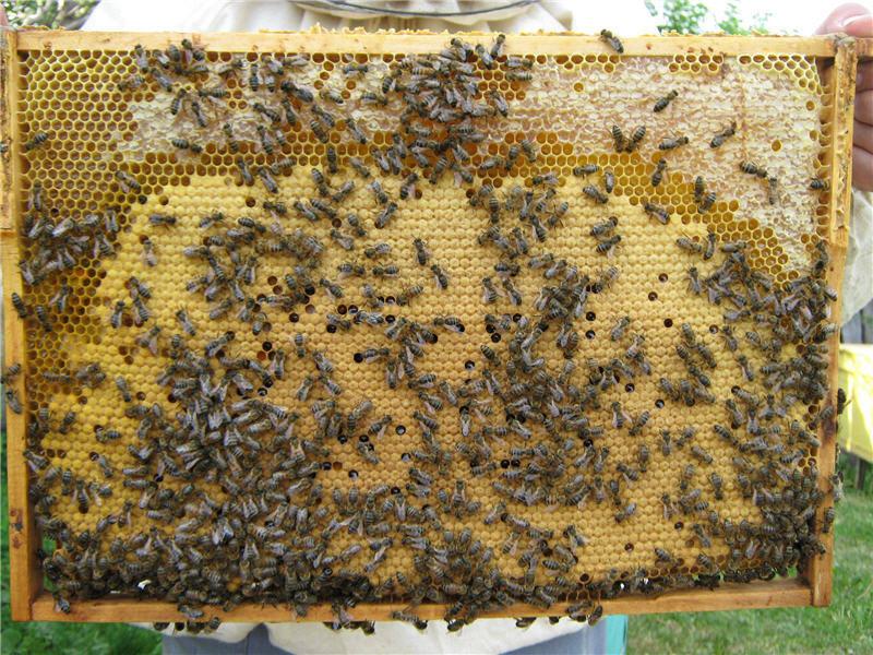 Сбор меда при неограниченном расплодном гнезде