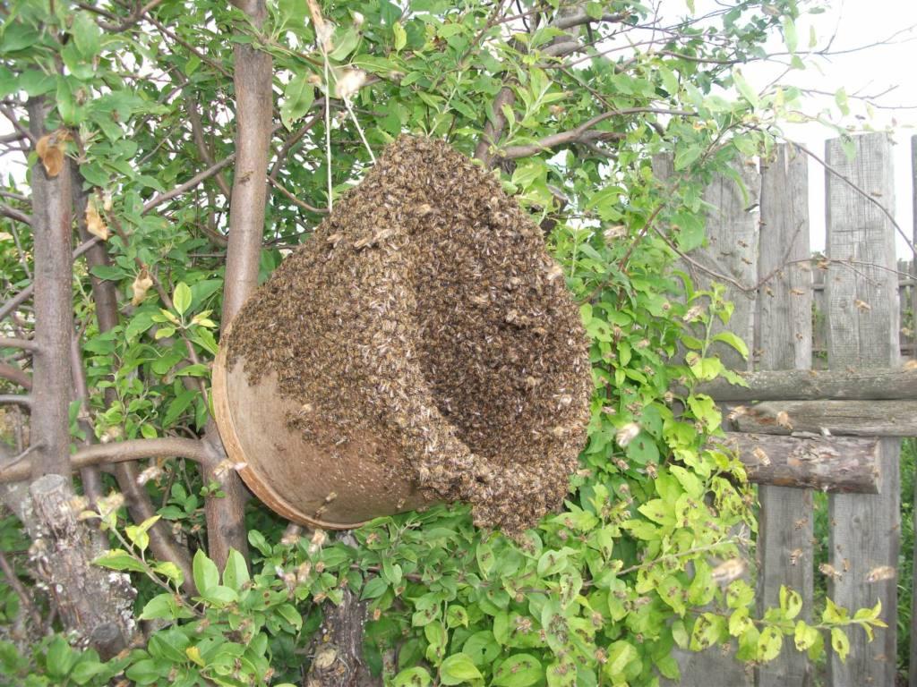 Как проводить роение пчелиных семей
