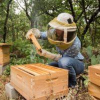 32443 Как проводить роение пчелиных семей
