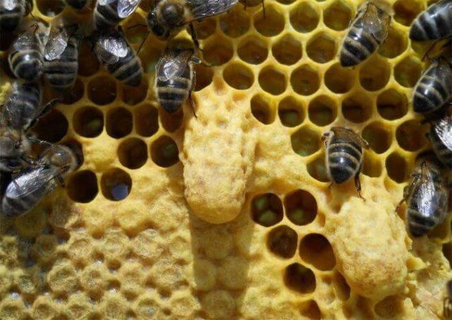 Неплодные матки и маточники пчел