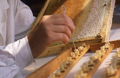 32464 Неплодные матки и маточники пчел