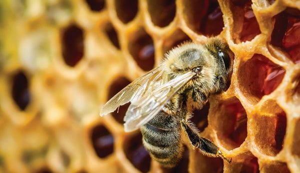 Пчелы в природе и история пчеловодства