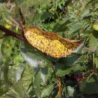 32686 Коккомикоз вишни – как эффективно и быстро вылечить дерево