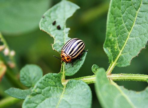 Колорадский жук – борьба с ним, средство и препараты +видео