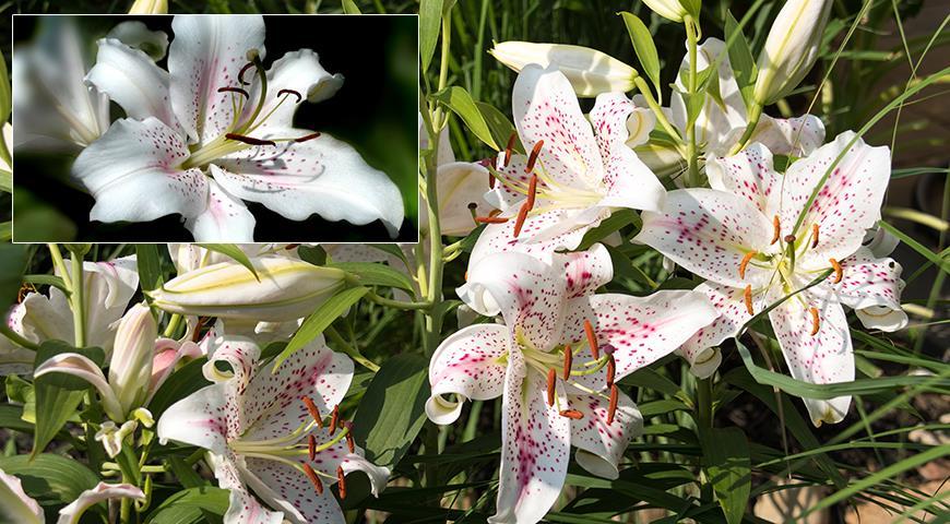 Восточные лилии: все секреты выращивания восточных красавиц