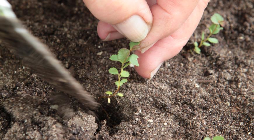 семена спиреи японской, пикировка