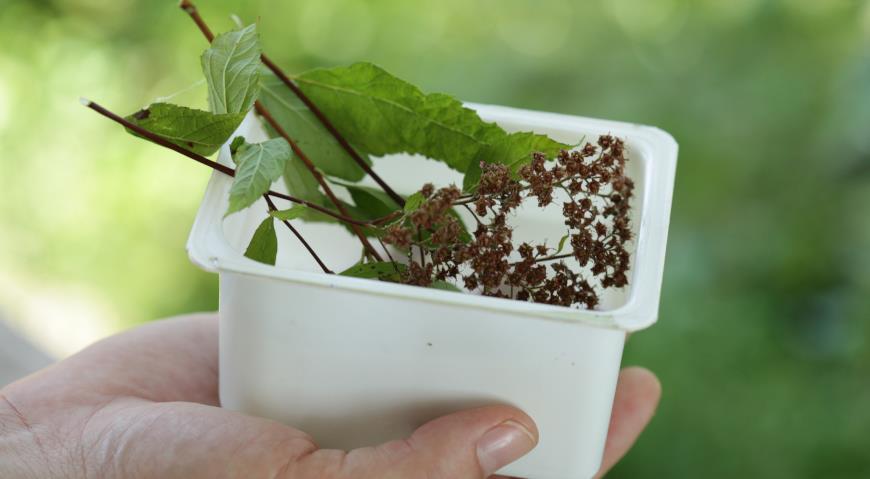 семена спиреи японской