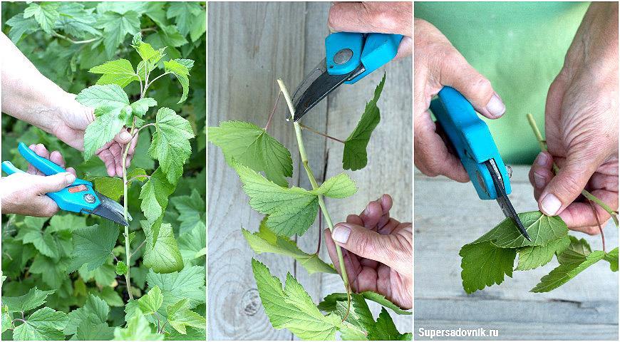 Проще простого: размножение черной смородины зелеными черенками