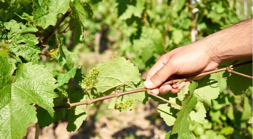 Горошение винограда: как избежать?