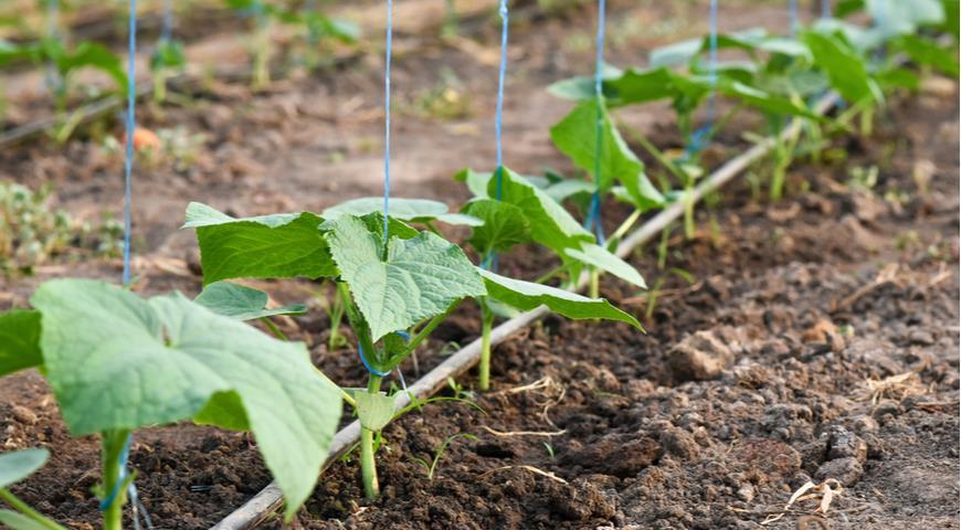 34067 Как получить хороший урожай огурцов