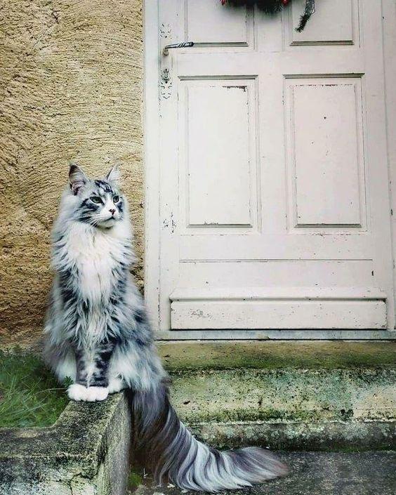 33947 Несколько мейн-кунов, по сравнению с которыми остальные кошки — настоящие карлики