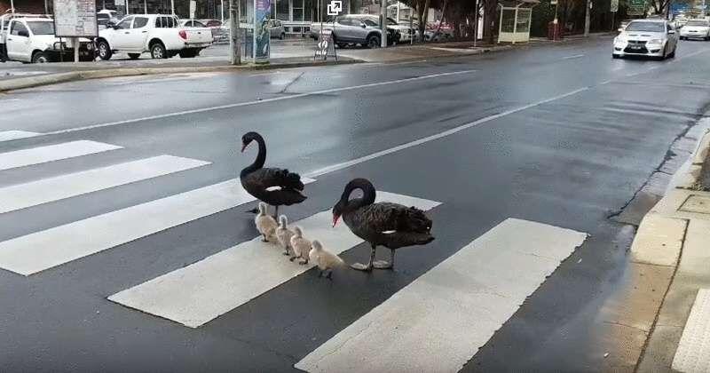 33291 Семья лебедей-пешеходов прославилась на всю Сеть