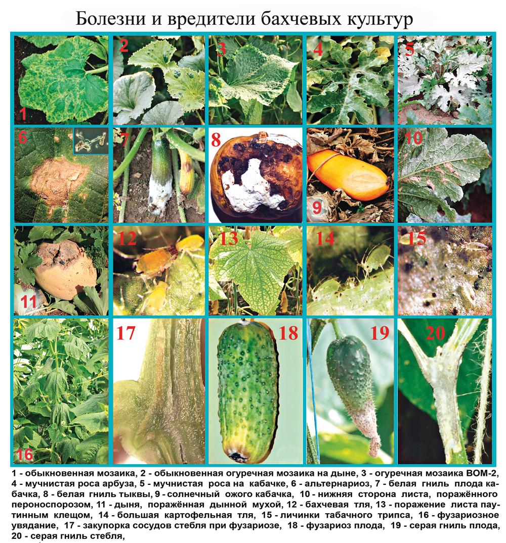 болезни и вредители огурца и тыквы