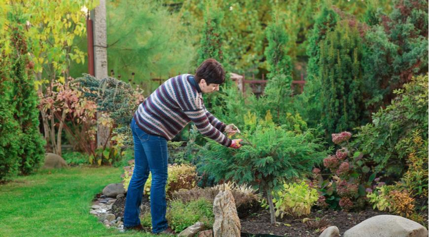 хвойные растения в саду, фитонциды, обрезка