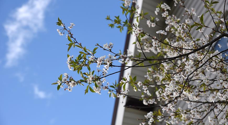 6 главных причин почему не плодоносит вишня
