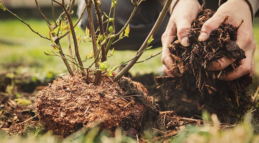 7 правил для отличного урожая голубики