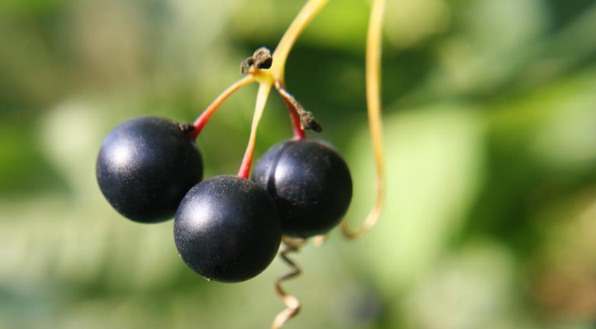 Переступень плоды