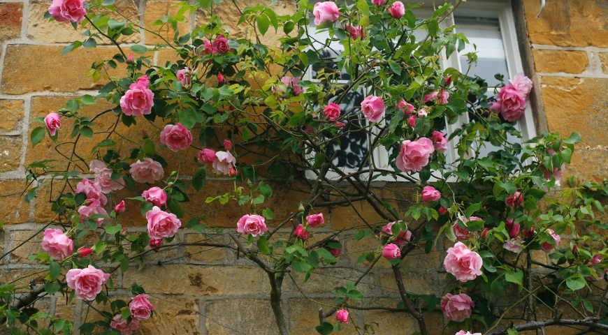 Уход за розами: посадка, обрезка, подкормка, полив