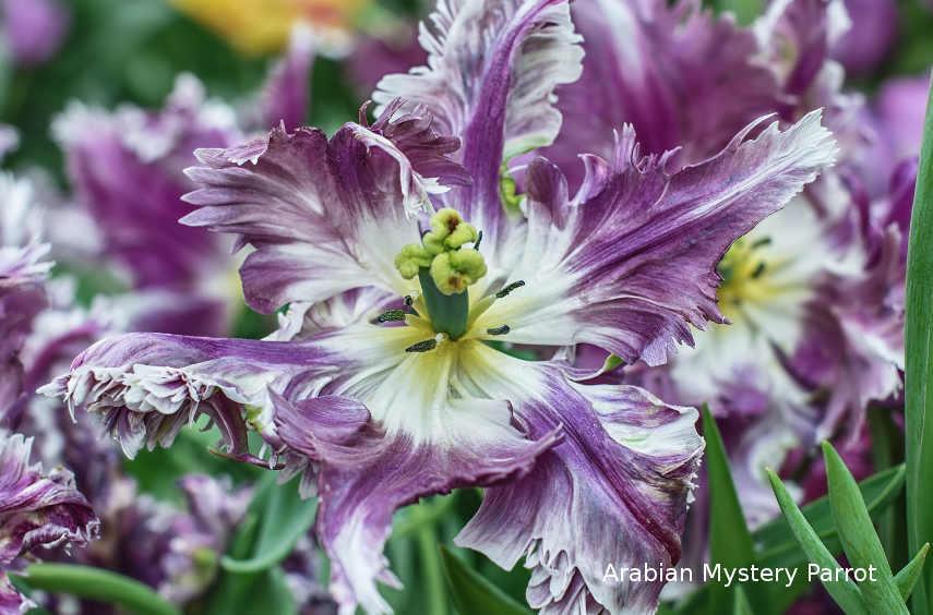 Август – самое время выбирать, какие сорта тюльпанов у вас будут цвести весной