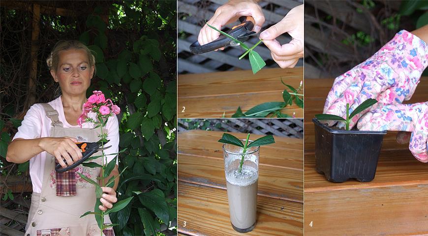 Как быстро и просто размножить понравившийся куст флоксов