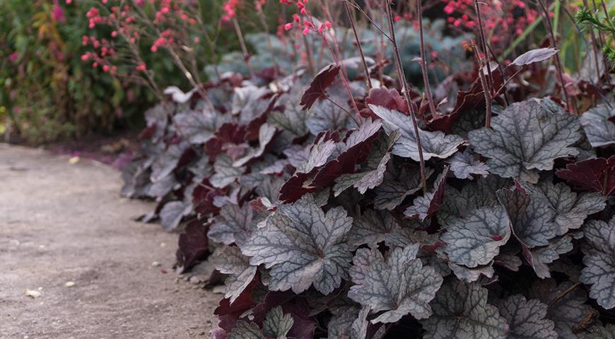 Гейхера в цветнике: как обеспечить себе успех в садовом дизайне