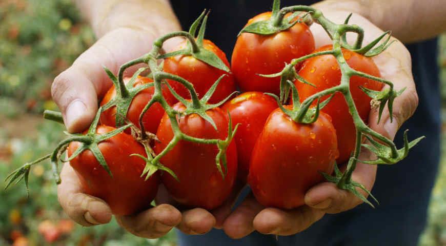 Монофосфат калия: как применять на даче для увеличения урожая, плюсы и минусы его использования