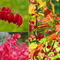 36805 Неприхотливые деревья и кустарники с красивой осенней листвой