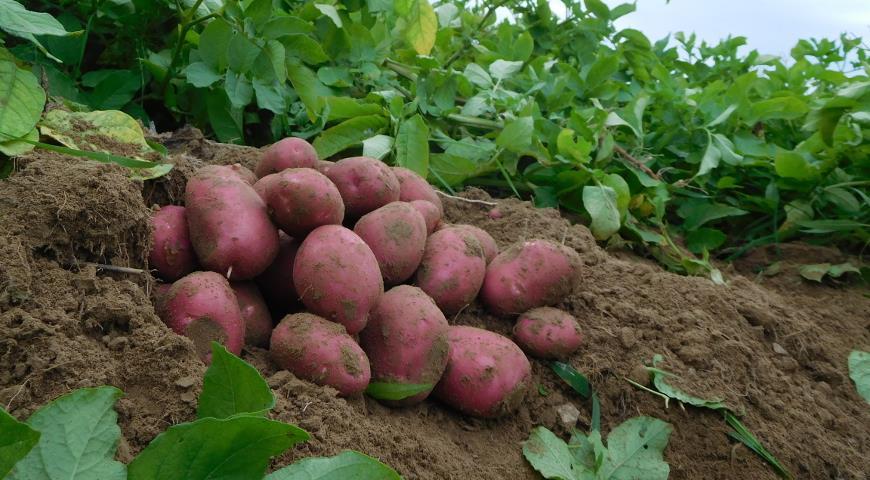 35675 Огород: сезонные работы в августе