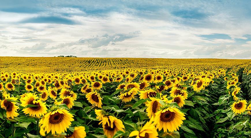 Цветочный гороскоп на 03-12 августа: ваш цветок — подсолнух!