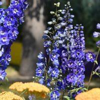 36542 Цветочный гороскоп на 24 августа - 2 сентября: ваш цветок - дельфиниум!