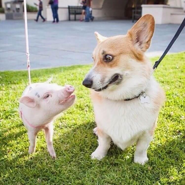 корги — лучшие в мире собаки