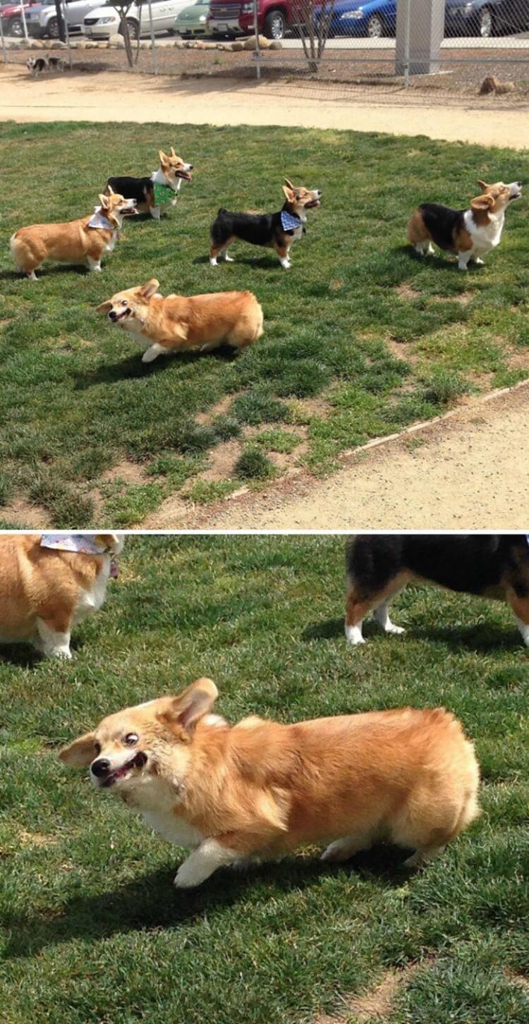 37981 40 восхитительных причин, почему корги — лучшие в мире собаки