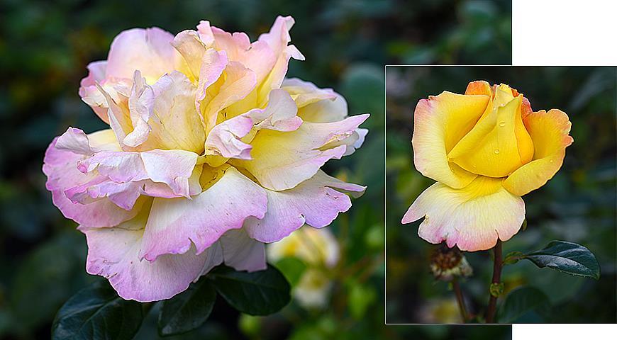 37861 7 самых зимостойких сортов роз для посадки в Подмосковье и севернее