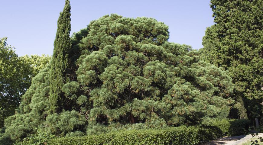 Неустойчивые хвойные растения: какие хвойники не стоит сажать в сад