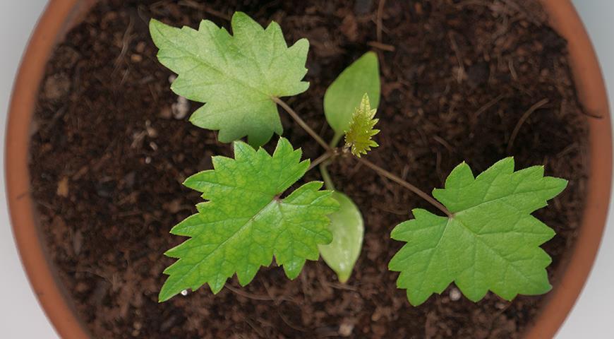 Вырастить виноград из семян? Почему бы и нет!