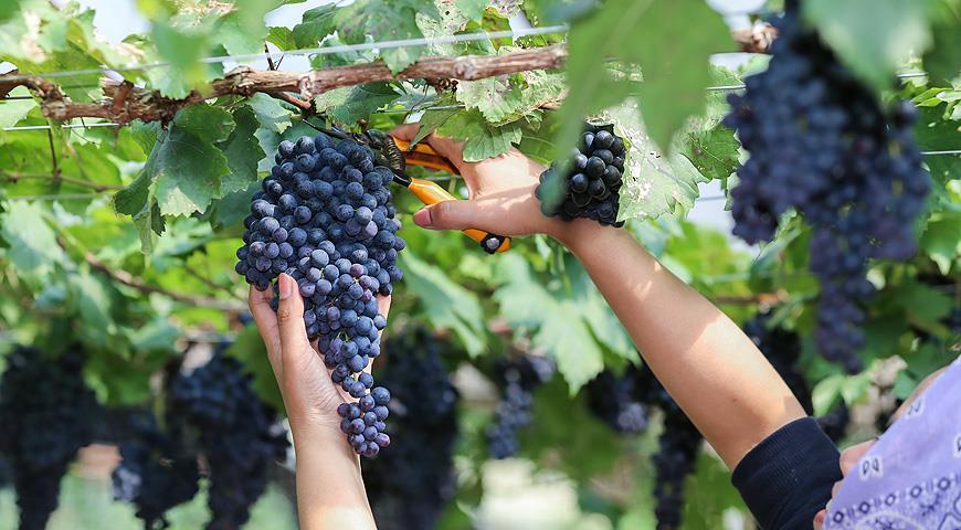 6 шагов по подготовке винограда к зиме