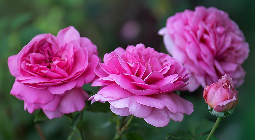 7 самых зимостойких сортов роз для посадки в Подмосковье и севернее