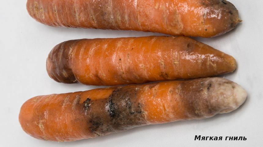 Мягкая гниль моркови
