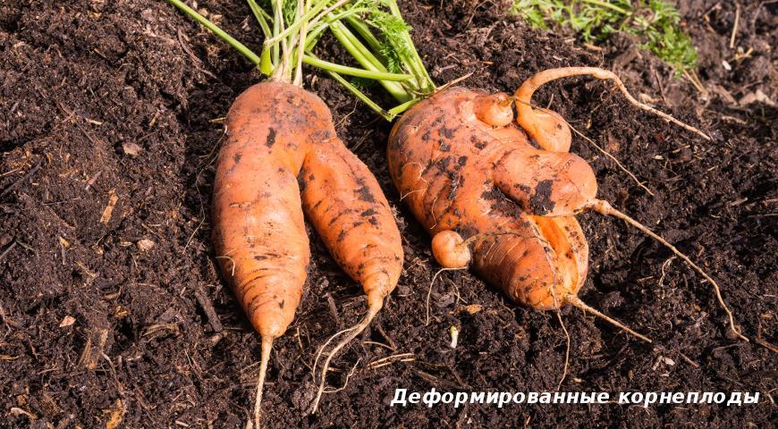 Деформированные корнеплоды моркови