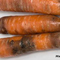 37135 Что случилось с морковью? Проблемы с урожаем