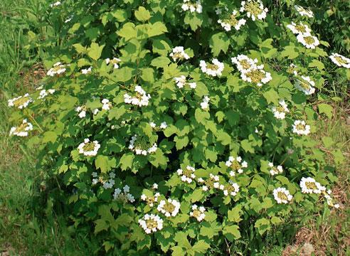 37058 Калина: личный опыт выращивания разных сортов