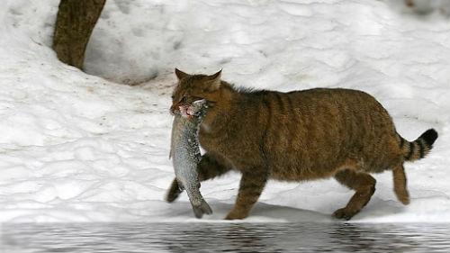 к чему снится лосось