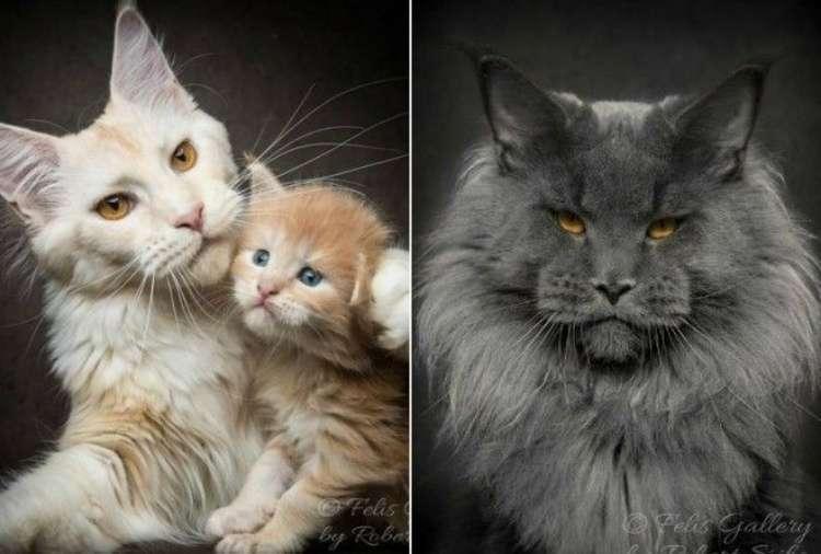 37374 Магическая красота мейнкунов, самых крупных кошек