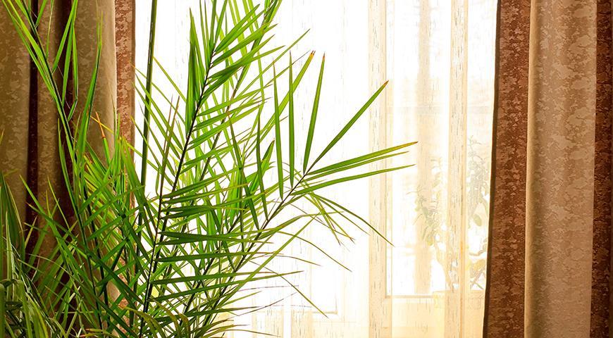 Особенности выращивания пальм в комнатных условиях